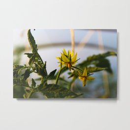 Picture of a tomato flower in a greenhouse Metal Print
