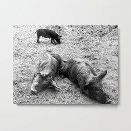 Little Piggies Black & White Metal Print