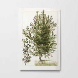 Pear tree (Pyrus Communis) by Frank Muller Metal Print
