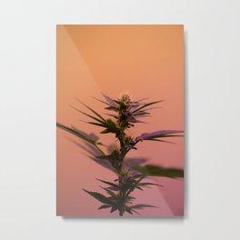 Macro cannabis kush photo Metal Print