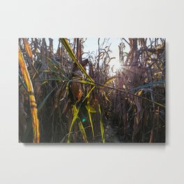Corn field at sunset in the countryside of Lomellina Metal Print