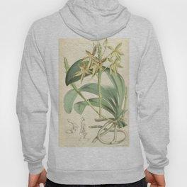 Phalaenopsis cornu cervi (as Polychilos cornu cervi) Curtis' 92 (Ser. 3 no. 22) pl. 5570 (1866) Hoody