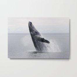 Monochrome humpback whale dance in the ocean floor. Beautiful wild animals photo Metal Print