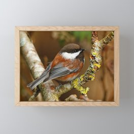 Chestnut-Backed Chickadee in the Cherry Tree Framed Mini Art Print
