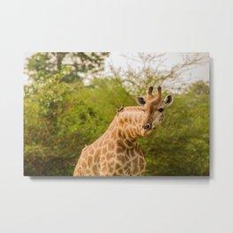 Giraffe with a bird | Senegal Travel Photography |  Metal Print