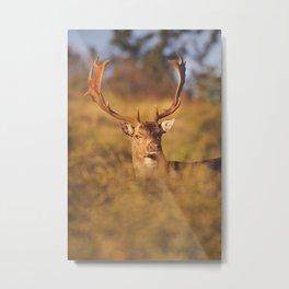 Fallow deer in early morning sunlight in rut season Metal Print